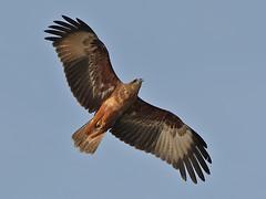 Brahminy Kite in Flight (SivamDesign) Tags: kite bird fauna canon eos rebel kiss flight 300mm tele juvenile x4 seaeagle redbacked brahminykite haliasturindus brahminy 550d canonef300mmf4lisusm t2i redbackedseaeagle