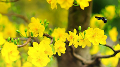 Hnh nh p v hoa mai vng tt rc r (TH1402) Tags: mai nh hoa mi nm p v tt hnh vng rc r ohaylamcom