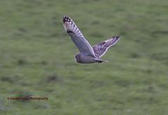 Short Eared Owl (devans886) Tags: bird beautiful photography wildlife northumberland short owl prey eared beaut