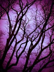 Oak branches (manderbet) Tags: winter branches tall redoak