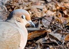 Flirtatious (Gabriel FW Koch) Tags: bird canon outside eos wings dof bokeh flirt outdoor dove pigeons feathers telephoto dos mourningdove eyelid avian blinking