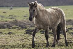 Konik-Pferde - 2016-007_Web (berni.radke) Tags: horse pferd konik konikhorses olfen steverauen konikpferde