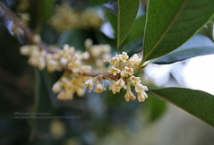 Nanjing, Osmanthus (blauepics) Tags: china city plant flower macro bug colours good details pflanze chinese smell stadt flowering blume makro nanjing jiangsu osmanthus duft blhen guter chinesisches geruch