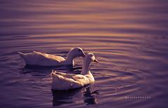 Arabian Duck (zaid.sp14) Tags: duck domestic saudi arabia arabian riyadh ksa