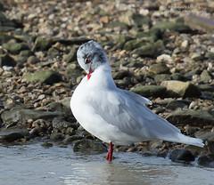 Mediterranean Gull -Larus melanocephalus (rosebudl1959) Tags: mediterranean gull weymouth 2016 rspb radipole