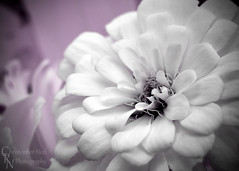 Chrysanthemum in IR Pink at Chickasaw Cultural Center, Sulphur, OK - 20151017CRN (Christopher Neel Photography) Tags: pink flower color macro art oklahoma tourism outdoors photography outdoor hiking fine tubes christopher center serenity mysterious infrared sulphur serene extension chrysanthemum neel cultural chickasaw kenko adevnture