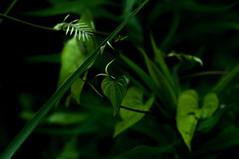 Untitled (Yuta Ohashi LTX) Tags: plant green leaves leaf nikon bokeh f14 voigtlander fixed 58mm  nokton  focal  d90 primelens