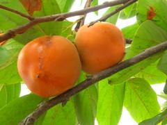 starr-060916-8875-Diospyros_kaki-fruit-Kula-Maui (Starr Environmental) Tags: diospyroskaki