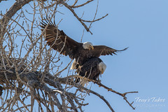 Bald Eagles copulating sequence - 5 of 28