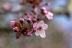 Plum Blossom (Paul Rioux) Tags: flowers flower tree nature yard garden flora dof bokeh plum depthoffield plumblossoms fantasticflower prioux