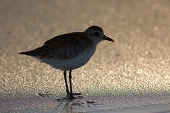 Backlit Plover (Edmonton Ken) Tags: shadow bird beach sand purple florida fringe backlit plover fringing