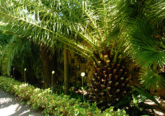 Phoenix canariensis, Canary island date palm (annamaart) Tags: trees palms palmer jungle tenerife teneriffa canaryislands puertodelacruz kanarieöarna djungel