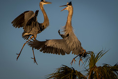 battling herons - talk about scary looks (robertskirk1) Tags: blue bird heron nature animal florida wildlife great wetlands fl battling viera ritchgrissom