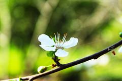 alsn bahar, uusun renkler.. vaktimiz varken.. (photographerofearth) Tags: flower nature closeup spring blossom sprig bahar iek doa ilkbahar bahardal 1200d nevnema