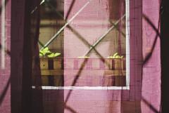 RIco Marzo (nosolovivodelaire) Tags: planta luz sol cortina ventana rosa morado albahaca