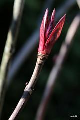 Hortensia knop (Henk M gardenphotoblog) Tags: flowers winter garden outdoor tuin signofspring lenteteken nimg0528