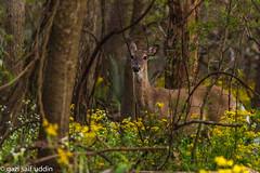 (saifsohel) Tags: usa green animal yellow canon child houston deer planet environment ttl highiso planetearth bearcreekpark canonlens iso5000