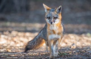 Close encounter with a grey fox