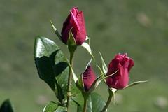 Three Sisters! (Dunstan Fernando) Tags: flowers roses nature nikon ngc rosa dunstan rosebuds redrosa redrosebuds rosesinsrilanka