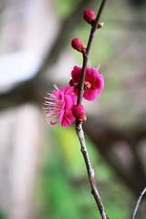 Plum blossoms (vermillionhorizon) Tags: flowers japan ume ehime matsuyama plumblossoms