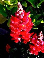 Red Snapdragons (chicbee04) Tags: flowers red arizona plants white green crimson scarlet garden lightandshadows colours tucson herbs earlymorning colores northamerica solarsystem photostream continents milkyway planetearth thenewworld southwesternusa theamericas spiralgalaxy starsol ouruniverse galacticcluster iphoneography northcentralandsouthamerica