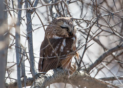 Northern Saw-whet Owl with mouse (Laura Erickson) Tags: minnesota birds places species duluth stlouiscounty strigiformes indianpoint northernsawwhetowl strigidae westernwaterfronttrail aeogoliusacadicus