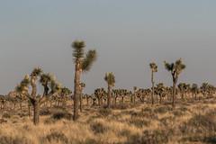 Joshua Trees (Yucca brevifolia) (mojave955) Tags: california usa america canon nationalpark desert unitedstatesofamerica joshuatree socal northamerica southerncalifornia nationalparkservice westcoast mojavedesert yuccabrevifolia joshuatreenationalpark coloradodesert        7dmarkii