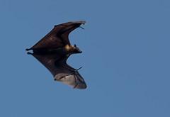 Fruit Bat (Chalto!) Tags: holiday asia bat srilanka ceylon flyingfox fruitbat indianflyingfox cynopterussphinx greatershortnosedfruitbat shortnosedindianfruitbat thalawawulaa