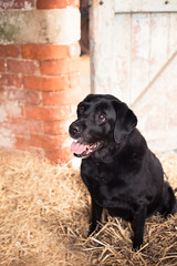 Inka in the stable (photoart33) Tags: portrait dog pet labrador inka