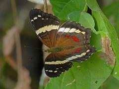 Banded Peacock (Anartia fatima) near Paraiso, Panama, Panama (Ian_125) Tags: butterfly insect lepidoptera nymphalidae papilionoidea nymphalinae anartia bandedpeacock anartiafatima panamaprovince victorinini radissonsummit