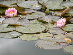 celbowo water lilies (kexi) Tags: pink flowers 2 two water leaves june couple pair samsung poland polska lilies waterlilies polen polonia lilie pomerania pologne 2015 nenufars instantfave celbowo nenufary wb690