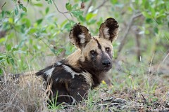 wild-dog-dic.2015_8854 (Marco Pozzi photographer (750k+ views, thanks)) Tags: africa southafrica krugernationalpark kruger pozzi wilddog sudafrica specanimal licaone marcopozzi marcopozziphotographer