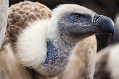 Cape Vulture (Scriblerus) Tags: bird vulture memphiszoo gypscoprotheres capevulture