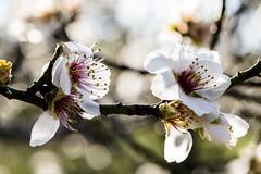 Primavera (Nebelkuss) Tags: madrid flower primavera spring flor quintadelosmolinos almendros almondtree fujixt1 fujinonxf60f24