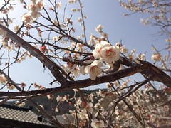 Ume flowers (addisonsong) Tags: flowers spring prunusmume umeflowers