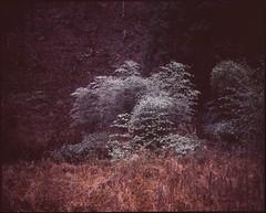(bensn) Tags: white snow tree mamiya film japan bush velvia medium format 50 nagano f4 80mm 7ii
