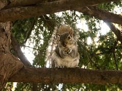 My Precious - Grey Squirrel (cocabeenslinky) Tags: world city uk england london art nature lumix photography grey squirrel natural photos g united capital gray kingdom peanuts east panasonic precious end april eastern eastend 2016 vario carolinensis sciurus my dmcg6 cocabeenslinky