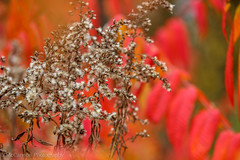 72  (1 of 1)-2 (McCannon Photography) Tags: red orange plants nature leaves yellow outdoors michigan vibrant cotton breathe pure aesthetic
