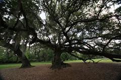 Canon206493 (godrudy6661) Tags: neworleans audubonpark treeoflife oaktrees