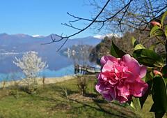 Camelie (Giuliana 57) Tags: panorama lago reflex piemonte camelia fiori fiore acqua landescape orta lagodorta fioritura ortasangiulio nikond5200 giuliana57 giulianacastellengo
