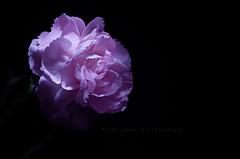 clavel (volen76) Tags: blue white flower nikon curves gimp nissin clavel rawtherapee d7000 volna80mmf28 sb910 smsls