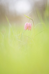 Mademoiselle fritillaire (YannW) Tags: flower nature fleur canon 300mm 6d mayenne fritillaire