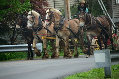 amish farmer (bluebird87) Tags: nikon amish farmer mules d7000