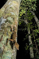 Northern Leaf tailed Gecko Saltuarius cornutus (Scott Eipper) Tags: scotteippernaturenature4you herps reptiles scotteipper nature4you