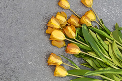Poster Edge of a bouquet of Tulips (Transient Eternal) Tags: flowers plants color green leaves yellow gold petals colorful soft tulips postcard softness decoration celebration event stamen stems bouquet decor tulipa lilioideae