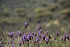 Cantueso (ramosblancor) Tags: flowers plants naturaleza flores nature colors plantas colores monfrage extremadura spanishlavender lavandulastoechas mediterraneanforest cantueso montemediterrneo