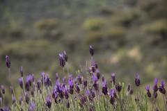 Cantueso (ramosblancor) Tags: flowers plants naturaleza flores nature colors plantas colores monfragüe extremadura spanishlavender lavandulastoechas mediterraneanforest cantueso montemediterráneo