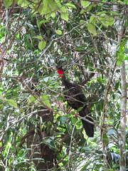 """Tikal: une sorte de dinde... <a style=""""margin-left:10px; font-size:0.8em;"""" href=""""http://www.flickr.com/photos/127723101@N04/26214485636/"""" target=""""_blank"""">@flickr</a>"""