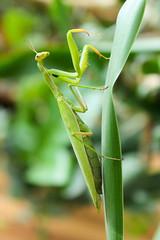 Green mantis. (vav163) Tags: green female mantis insect paw silent body head menacing jaw pray leg attack wing large mining eat terrible wait spike hunter predator miss length purpose antenna cockroach ambush eater invertebrate abdomen