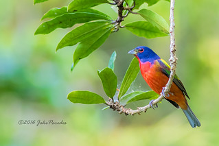 Painted Bunting in my backyard